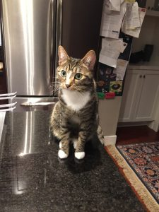 A tabby cat sitting on a kitchen counter in front of a refrigerator