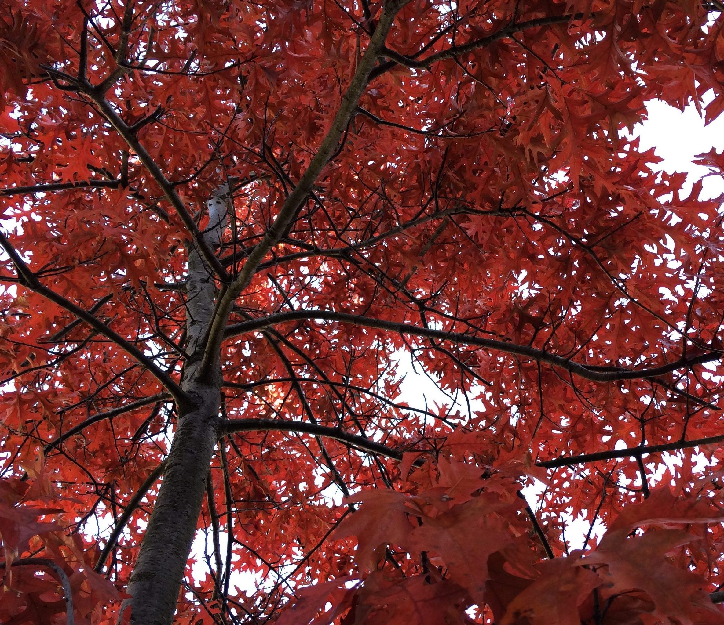 red maple leaves on a tree, from below